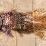 Coelocanth fossilisation