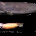 Sperm Whale size comparison to Giant Squid